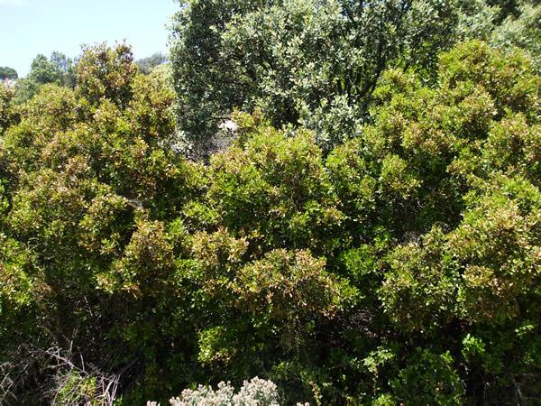 Catálogo de flora autóctona Coscoja-02-blog