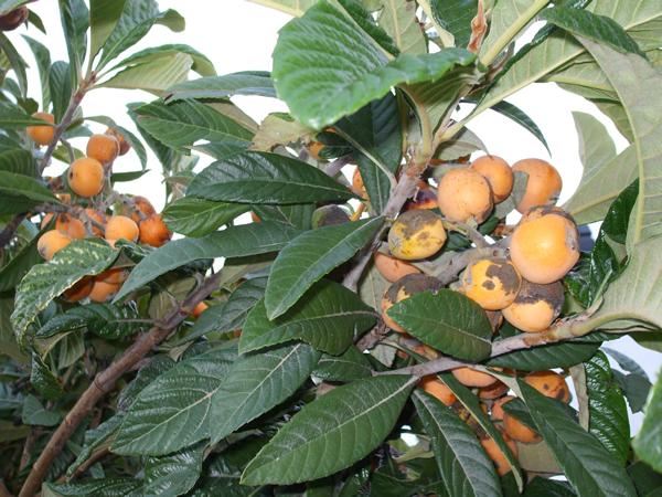 La serran a natural rbol frutal Semilla de brasil es toxica