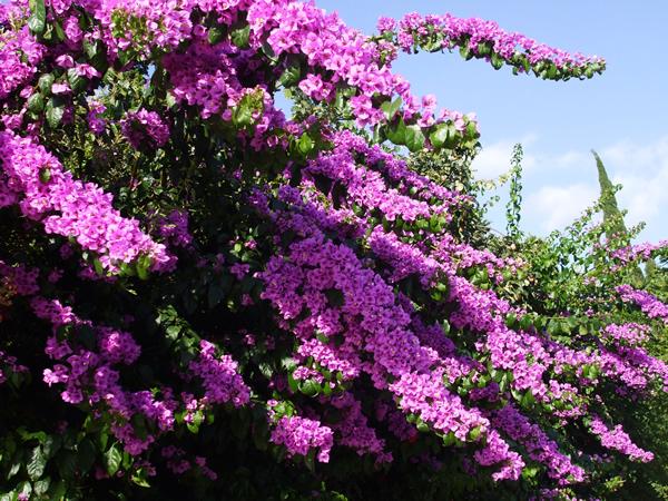 La serran a natural blog archive buganvilla - La buganvilla ...