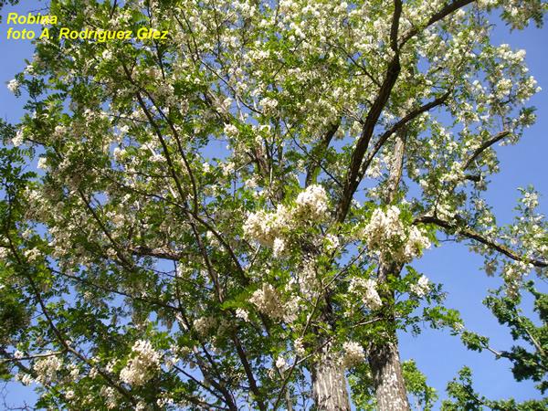 La serran a natural 2009 mayo for Arboles hoja perenne para jardin