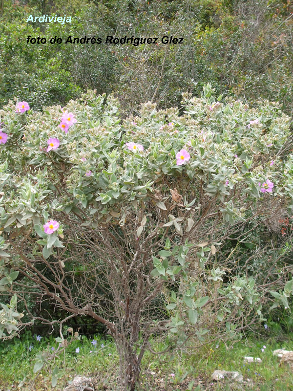 La Serranía Natural » Blog Archive » Ardivieja, Jara Blanca, Estepa