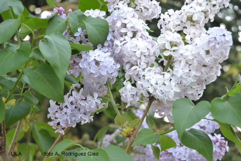 La serran a natural planta de jard n for Jardin lilo