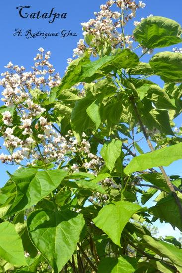La serran a natural catalpa for Arboles que no se le caen las hojas en invierno