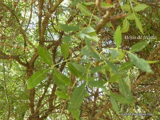 La serran a natural fresno for Arboles que no se le caen las hojas en invierno