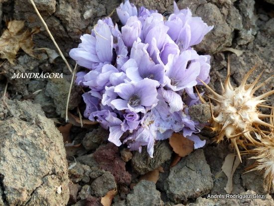 La Serrania Natural Mandragora Autumnalis